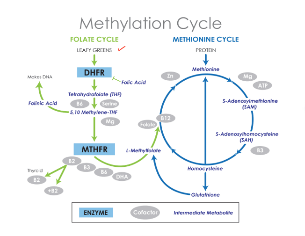 Image of a second folate metabolism diagram.