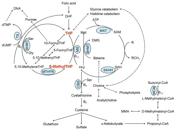 Image of a folate metabolism diagram.